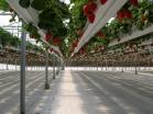 strawberries 009